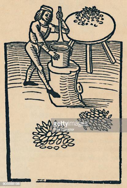 'Crushing Herbs in a Mortar' 1947 Originally from Hortus Sanitatis 1491 Reproduced in British Herbs and Vegetables by George M Taylor [Collins London...