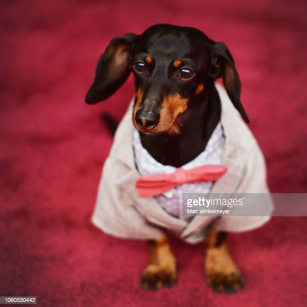 Crusoe the Celebrity Dachshund attends the People's Choice Awards 2018 at Barker Hangar on November 11 2018 in Santa Monica California