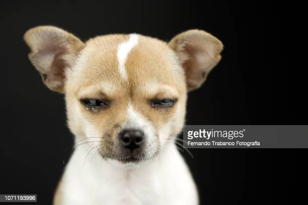 crying dog - seeing eye dog stock photos and pictures