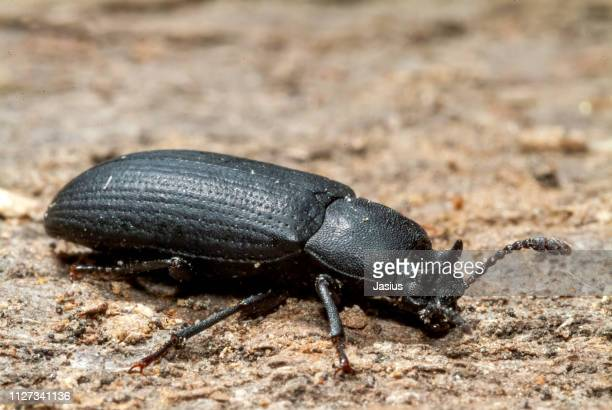 cryphaeus cornutus – darkling beetle - horned beetle stock pictures, royalty-free photos & images
