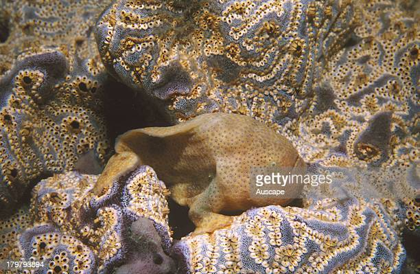Cryptic anglerfish Histiophryne cryptacanthus spotted color phase for camouflage lurks in compound ascidians in wait for prey Edithburgh Yorke...