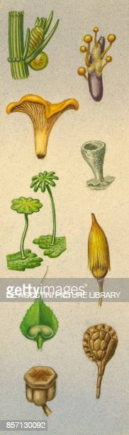 algae ergot fungus chanterelles pixiecup lichen umbrella liverwort Polytrichum clubmoss male fern field horsetail drawing