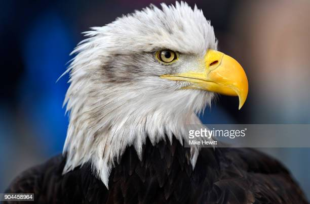 Crystal Palace's bald eagle mascot Kayla is seen prior to the Premier League match between Crystal Palace and Burnley at Selhurst Park on January 13...