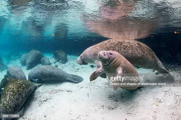 crystal river and its company of manatees - florida manatee stock pictures, royalty-free photos & images