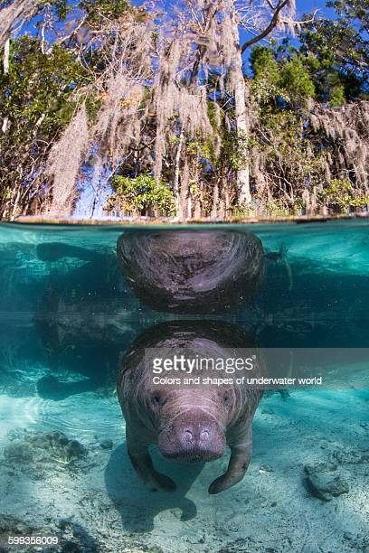 Crystal River reflection with West Indian Manatee