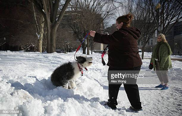 Crystal Smith of Cleveland Tennessee plays with her sevenmonthold Old English Sheepdog Tilley in Lafayette Square January 25 2016 in Washington DC It...