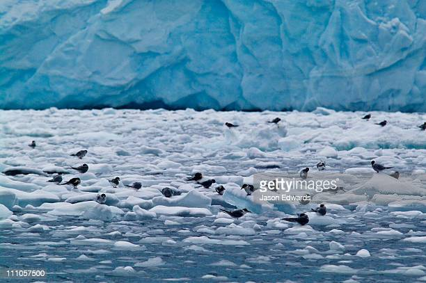 A flock of Antarctic Terns and chicks roosting on small blocks of ice.