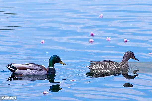 crystal springs, portland, oregon, usa; female and male mallard ducks swimming - dan sherwood photography stock pictures, royalty-free photos & images