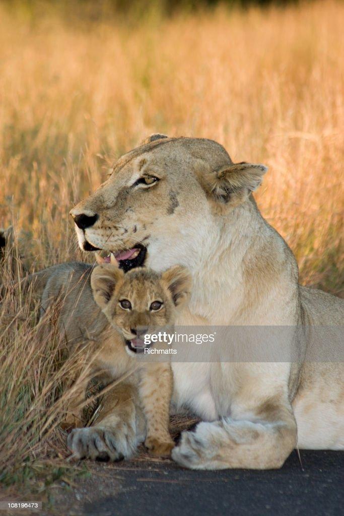 Cub and Mom Lioness : Stockfoto