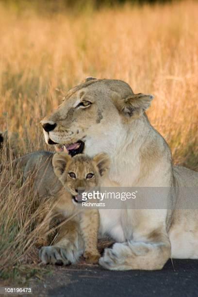 Cub and Mom Lioness