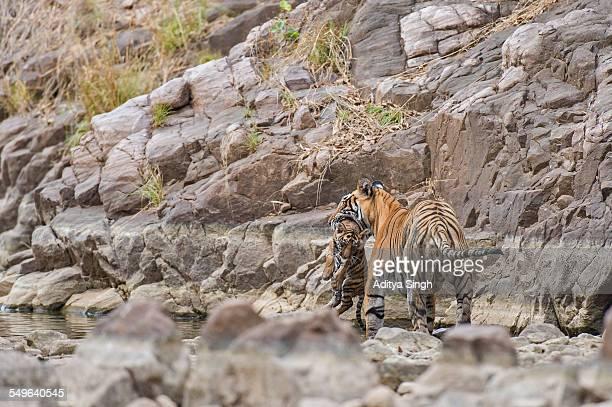 cub carrying tigress - くわえる ストックフォトと画像
