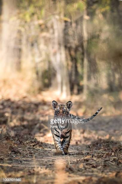 cub head-on - tiger - tiger cub stock photos and pictures
