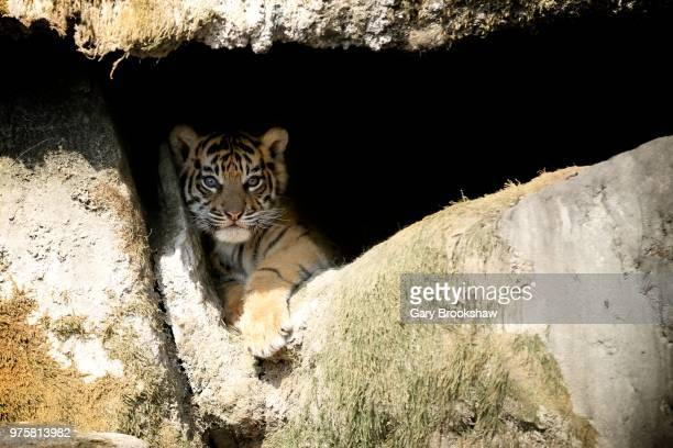 cub in a cave! - tiger cub stock photos and pictures