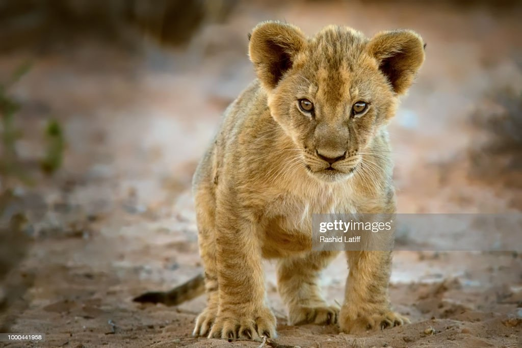 Cub in a Quandary : Stock Photo
