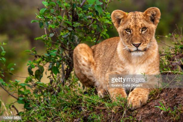 a cub is lying and looking to camera in a full shot - lion cub stock photos and pictures