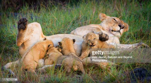 cub making facde while others nurse at masai mara, kenya - naughty nurse images stock photos and pictures