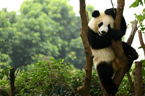 Cub of Giant panda bear playing on tree Chengdu, China 469451158