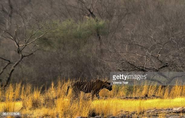Male  Tiger cub in natural habitat at the Ranthambore National Park/Rajasthan