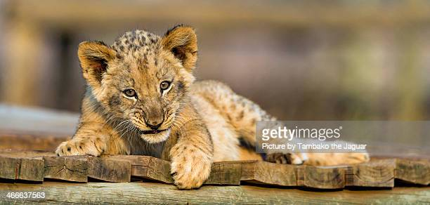 cub on the platform - lion cub stock photos and pictures