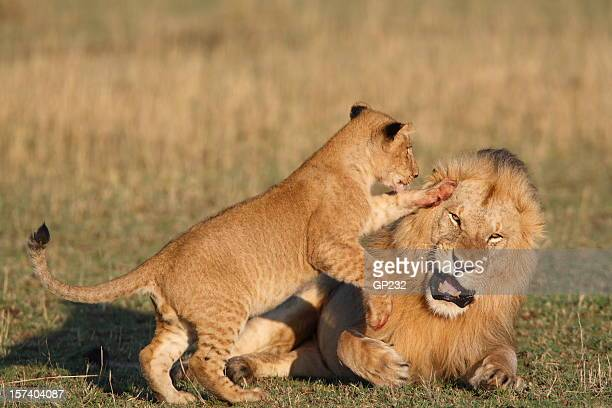 cub playing with male lion - lion cub stock photos and pictures