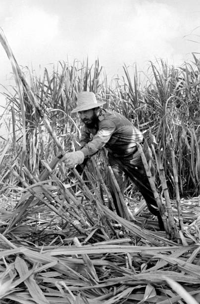 Cuba Fidel Castro Cutting The Sugar Cane About 1