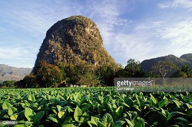 cuba, valle de vinales, mogotes, tobacco field - valle de vinales stock photos and pictures