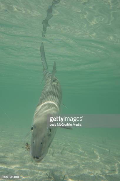 Cuban bonefish in the water while being released.