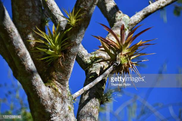 cuban bromeliads - epiphyte stock pictures, royalty-free photos & images