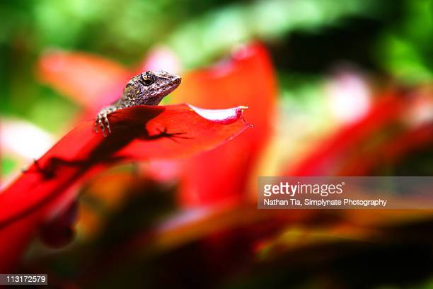 cuban brown anole lizard on bromeliad - bromeliad stock photos and pictures