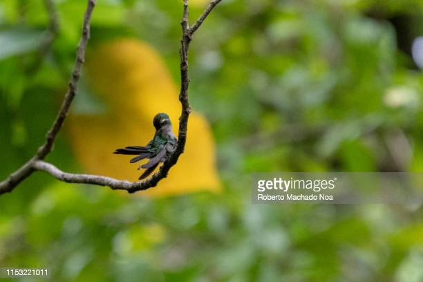 cuban emerald hummingbird - santa clara cuba stock pictures, royalty-free photos & images