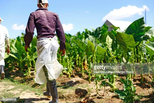 Cuban tobacco workers harvest at the Isidro Garcia cooperative in the Western province of Pinar del Rio in San Juan y Martinez on February 27 2018...