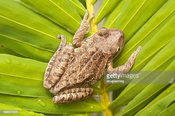 cuban tree frog - warts stock photos and pictures