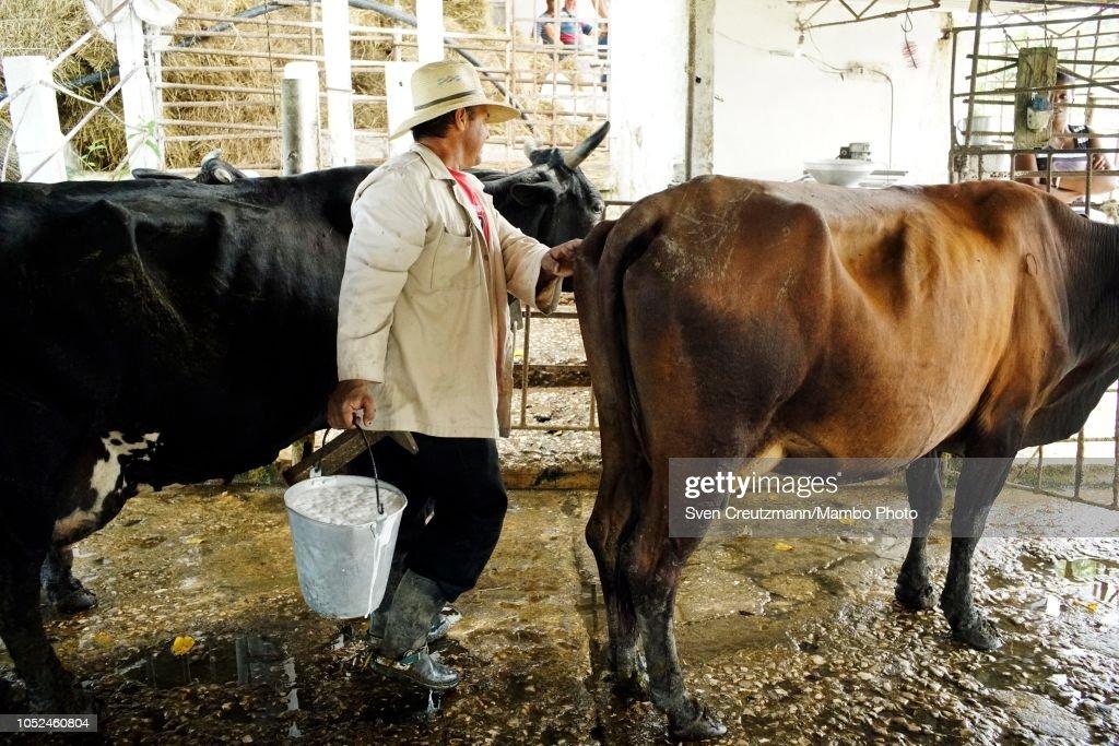 Cow farm run by private cooperative : News Photo