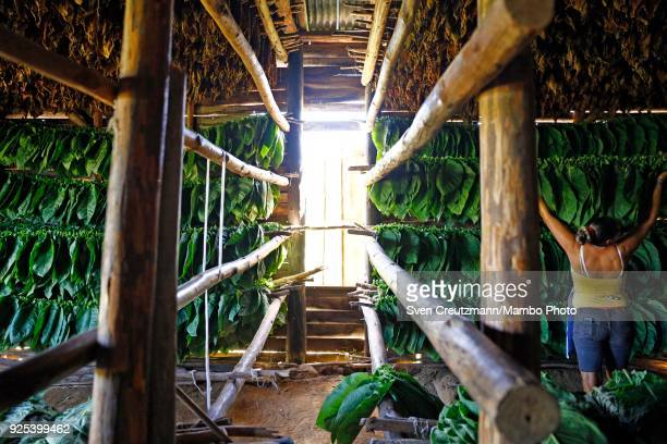Cuban worker hangs tobacco leaves for drying at the Isidro Garcia cooperative in the Western province of Pinar del Rio in San Juan y Martinez on...