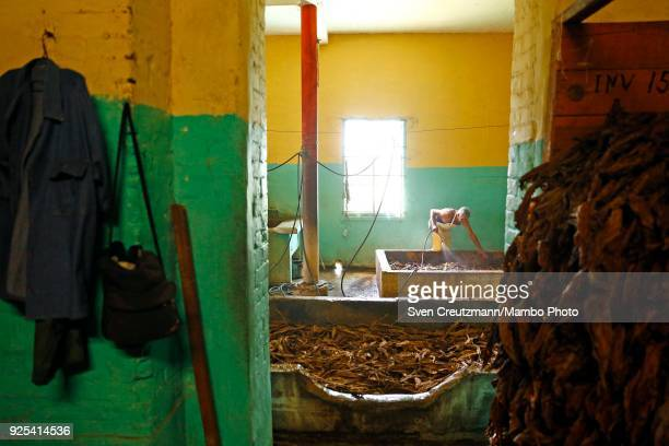 Cuban worker sprays water at tobacco leaves in the Despalillo factory in the Western province of Pinar del Rio in San Juan y Martinez on February 27...
