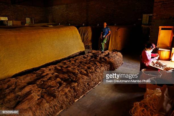 Cuban workers sort dried tobacco at a Despalillo factory in the Western province of Pinar del Rio in San Juan y Martinez on February 27 2018 Cuba...