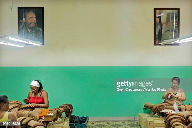 Cuban workers sort tobacco leaves under the image of late Revolution leader Fidel Castro at the H Upmann tobacco factory during the annual Habanos...