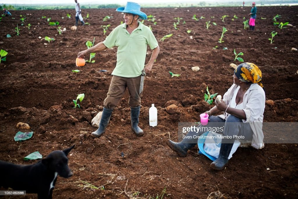 Worker at banana plantation : News Photo