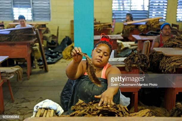 Cuban workers works with tobacco leaves at the Despalillo factory in the Western province of Pinar del Rio in San Juan y Martinez on February 27 2018...