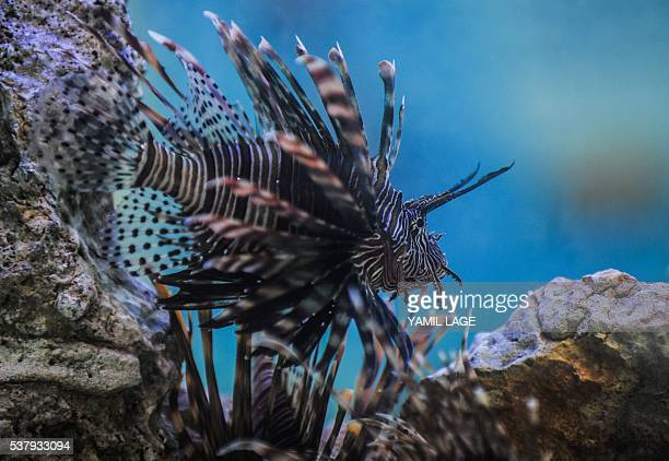 Cubans look at a lionfish in a fish tank in Havana on June 2 2016 Cuba includes in its menu lionfish to combat this invasive and predatory species...
