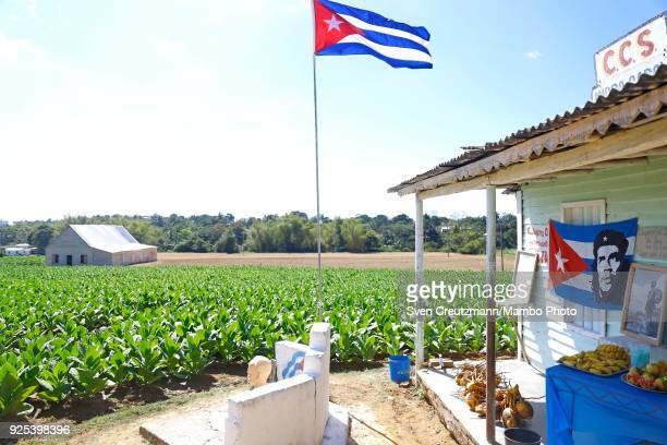 Cubas flag and an image of Che Guevara are overlooking a field of tobacco leaves at the Isidro Garcia cooperative in the Western province of Pinar...