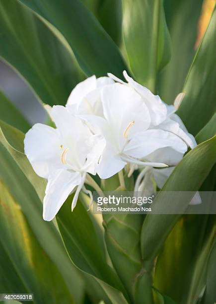 Cuba's National Flower is the White Ginger or Hedychium coronarium also known in Spanish as Mariposa The White Ginger called Mariposa in Cuba is a...