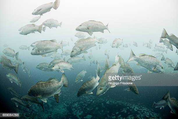 cubera snappers (lutjanus cyanopterus) gather around underwater freshwater springs, sian kaan biosphere reserve, quinta roo, mexico - sian ka'an biosphere reserve stock photos and pictures
