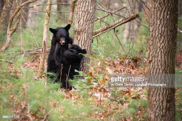 cubs at play - cades cove stock pictures, royalty-free photos & images