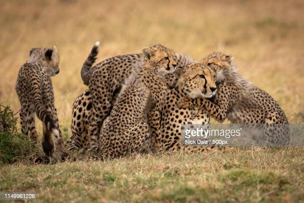Cubs Nuzzle Cheetah In Grass Beside Another