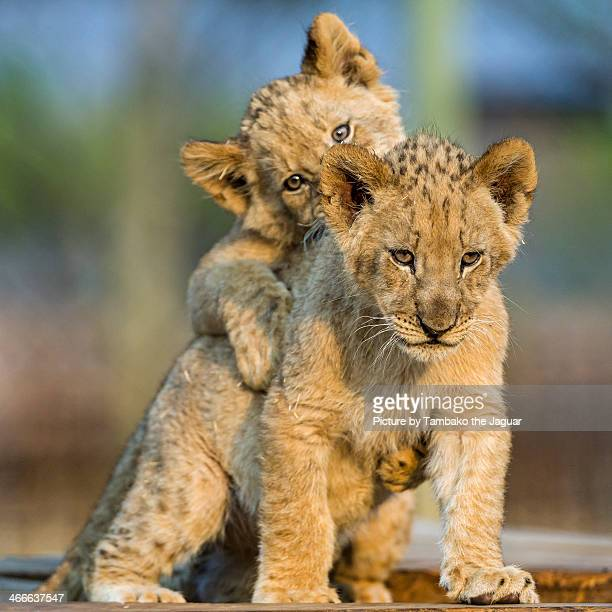cubs playing at sunset ii - lion cub stock photos and pictures