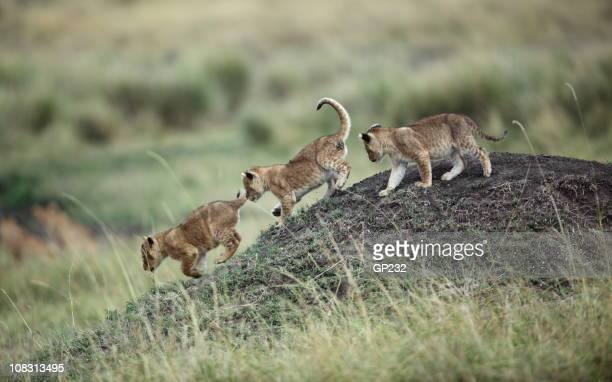 cubs playing - lion cub stock photos and pictures