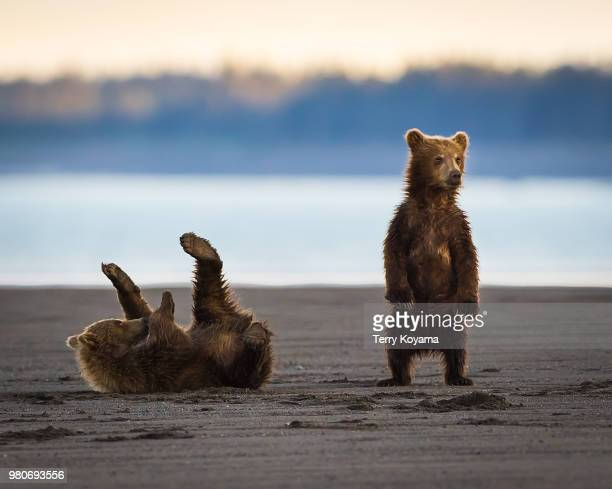 cubs will be cubs - bear cub stock pictures, royalty-free photos & images