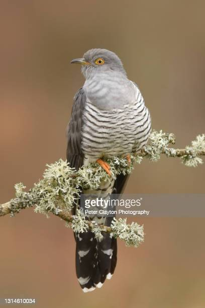 cuckoo bird - alternative pose stock pictures, royalty-free photos & images