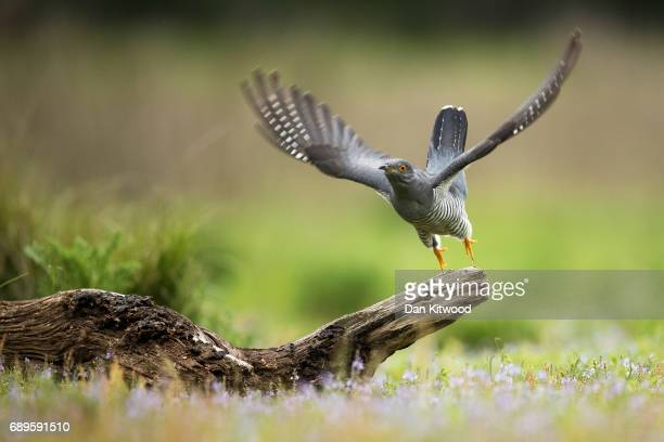 Cuckoo flies from a perch in woodland on Thursley Common on May 28 2017 in Thursley England The United Kingdom has seen a 71 percent decline in the...